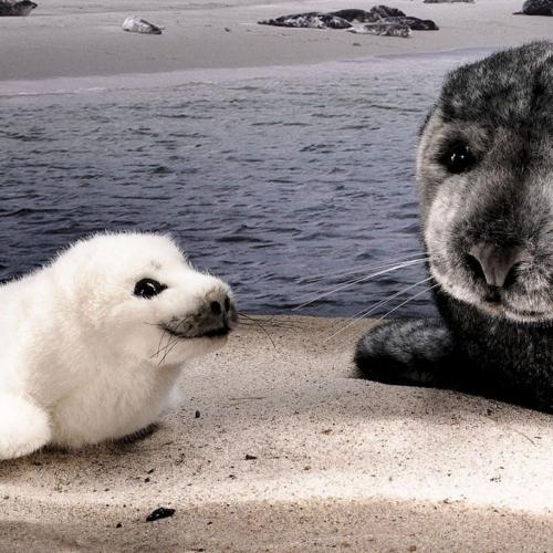 K 246 Sen Usa 6460 Luca Ringed Seal Baby